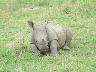 Baby Rhino, Sabi Sands Game Preserve, Limpopo, South Africa | by Marc_Smith