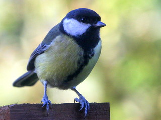 Great Tit. | by wurzel.pete.2.5 Million views,Thanks.