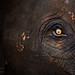 Eye of the Thai Elephant