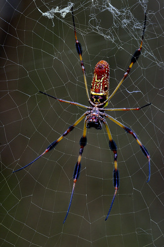 Golden Silk Orb Weaver | by Bill Shatto