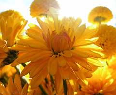 Backlit flowers by Micro43