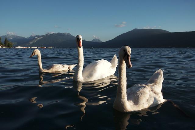 Le lac des cygnes ?