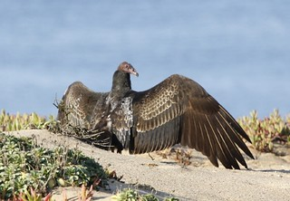 1turkey vulture frances rice | by Contra Costa Times