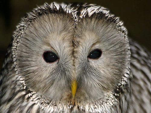 Ural Owl | by Barry Lloyd