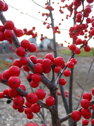 Winterberry with a View of Rosslyn | by kkfea