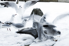 Snow, bread and gulls by illie72