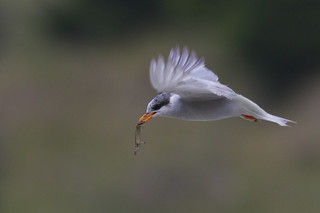 Black Fronted Tern In Motion | by NZ Nature by Glenda Rees
