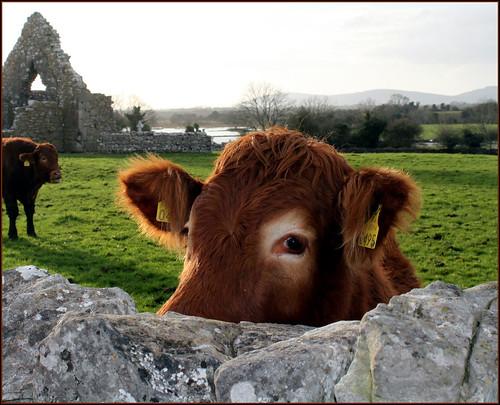 13th century monastery. 21st century cow.