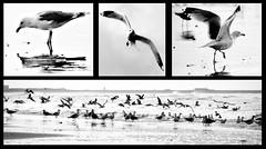 Always a gull around / The birds by illie72