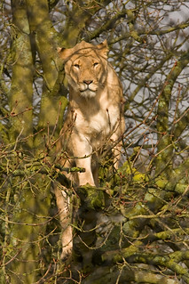 Lioness 5021 28.01.12 | by Di (Diane) Stone