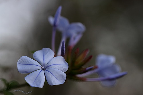 "Plumbago auriculata in bloom on hiking trail (Feb 9, 2012) | by Anthony ""Tony G"" Gliozzo (Web Site is ocbirds.com)"