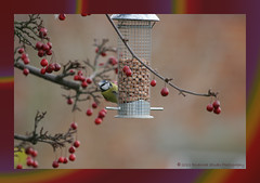 Berries And Blue Tit by judy4652