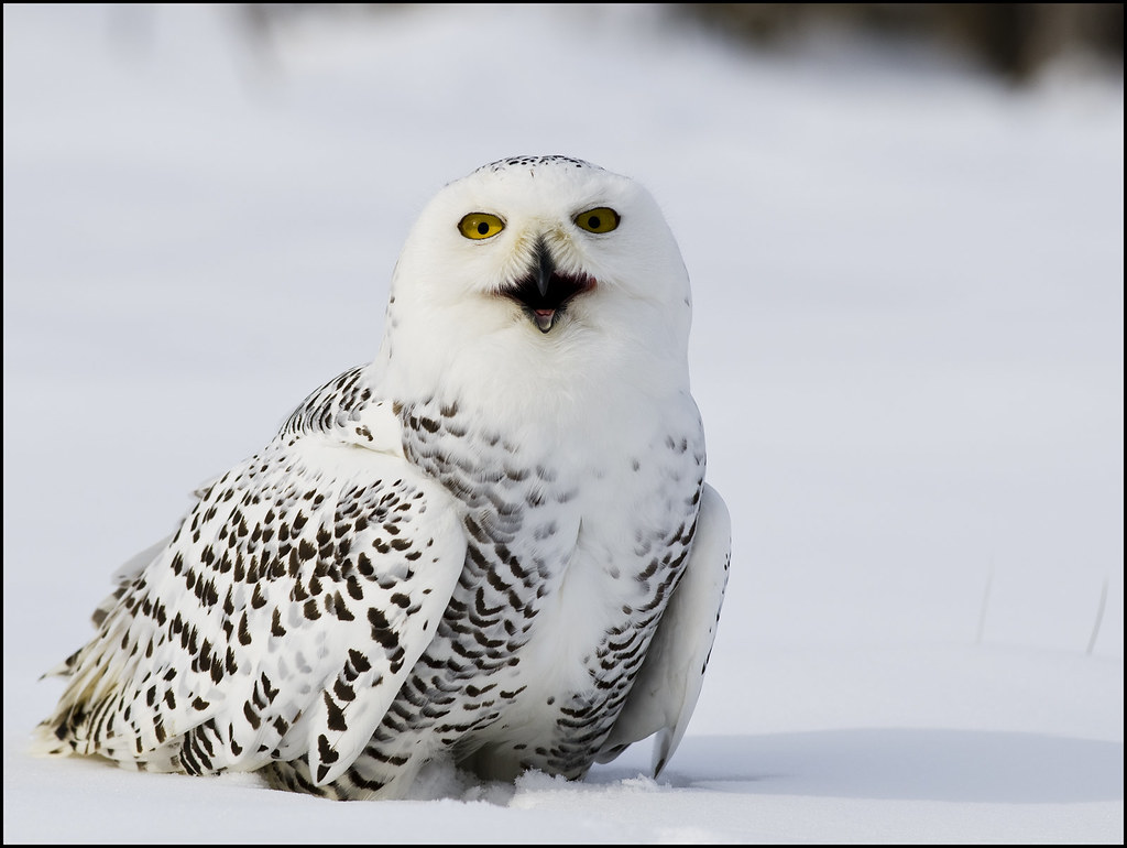Female Snowy Owl 17