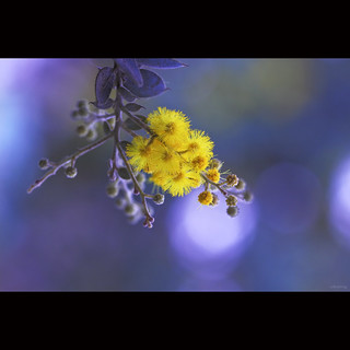Mimosa flower | by -clicking-
