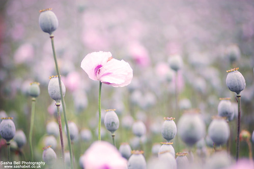 Pink Poppies | by Sasha L'Estrange-Bell