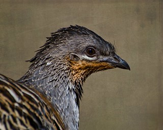 Malleefowl | by JustaMonster