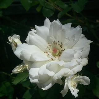 #whiteclimberrose #rose 🌹 #roses