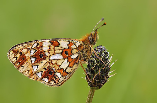 Small Pearl Bordered Fritillary | by nigel kiteley2011