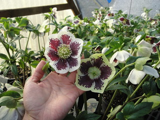 Helleborus Winter Jewels® Painted 1 | by RHR Horticulture