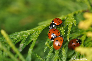 Ladybug's | by Remy Snippe