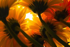 light beyond the petals by paloetic