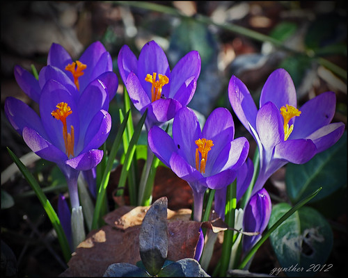 5 crocus | by gos1959