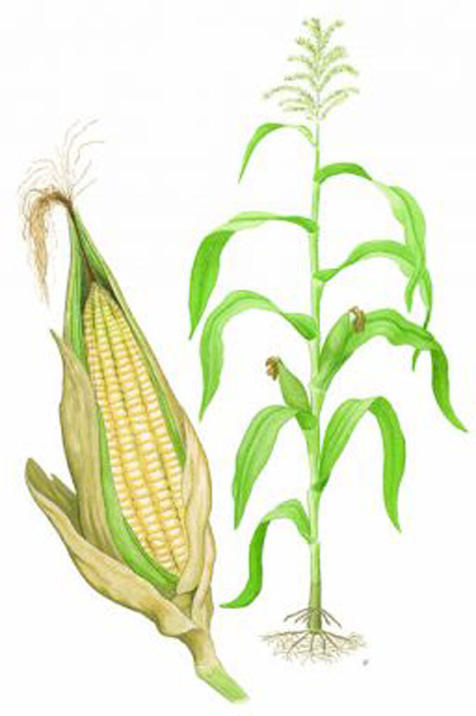 Corn Plant Diagram Corn Plant Diagram Maize
