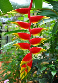 False Bird of Paradise - Heliconia pendula,Family: Heliconiaceae | by PL Tandon (Thanks for 4.2 Million+ views)