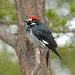Day 69 Acorn Woodpecker (m)