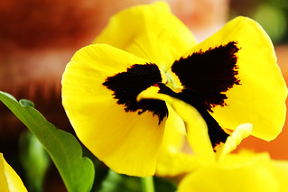 yellow pansy | by Katrinitsa