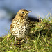 Song Thrush MK3L8220 copy