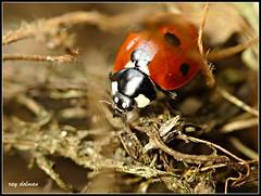 Ladybird by RaymondUK
