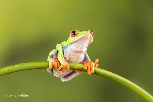 Red Eye Tree Frog D75_2670.jpg