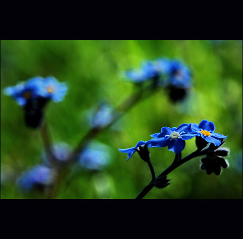 forget-me-not bokeh | by klaus53