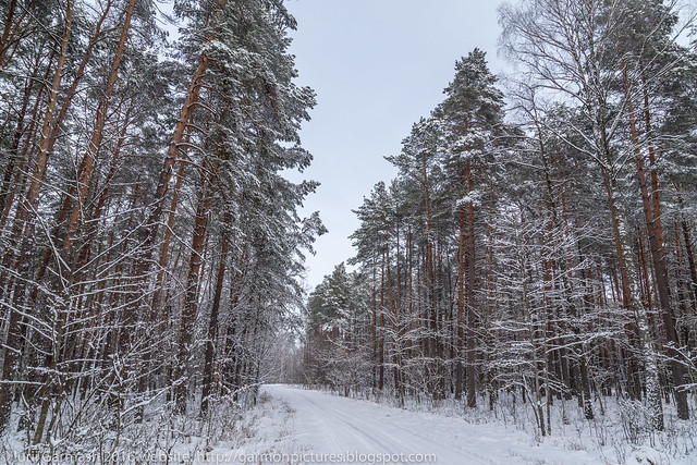 Snowy forest landscape with curved birch trees and road driving into the woods.