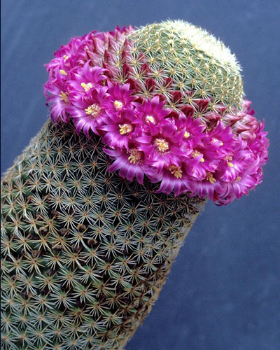 Mammillaria matudae | by Succulents Love by Pasquale Ruocco (Stabiae)