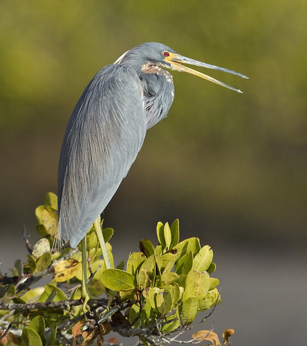 Tricolor Heron | by PictureOnTheWall