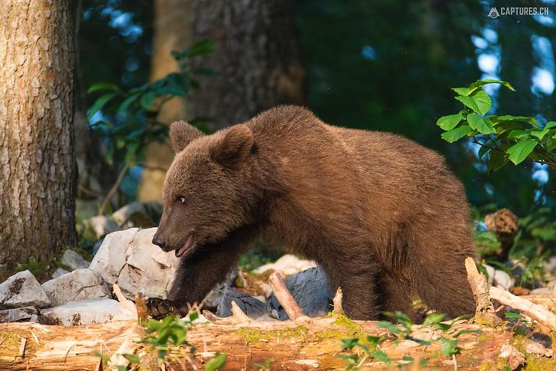 Brown bear 2 - Slovenia