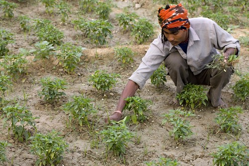 Vegetable and crop plantation in Patna Kapilvastu | by UNDP Nepal