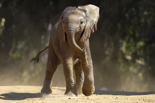 Elephant calf | by San Diego Zoo Global