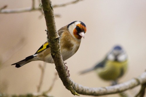 Goldfinch | by Gareth Christian