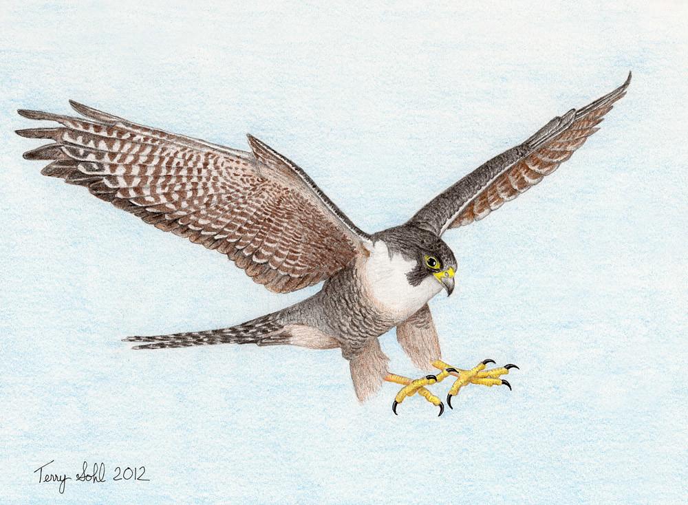 Bird In Flight Drawings  Fine Art America