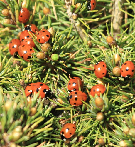 There were many more Ladybirds that covered the whole of the tree | by acerman17