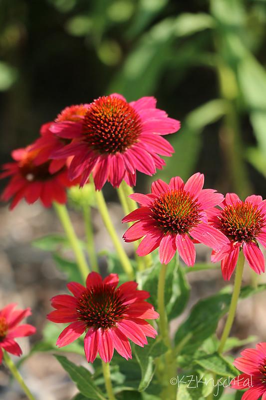 IMG_0545Coneflowers