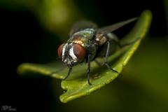 Diptera II - 07-06-2012 - MACRO