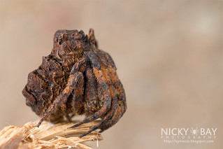 Tree Stump Orb Weaver (Poltys sp.) - DSC_7763