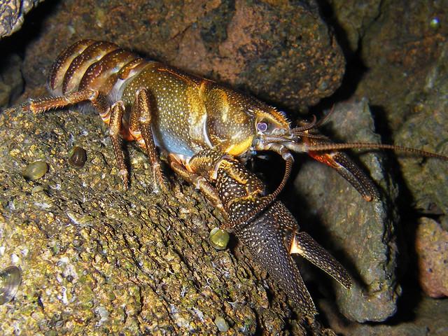Common yabby crayfish for aquariums - YouTube  |Common Crayfish