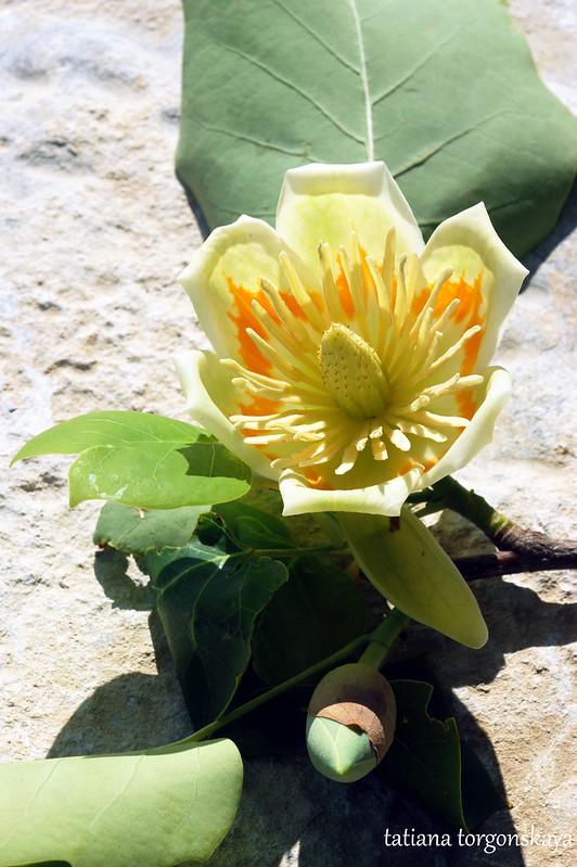 Цветок лириодендрона
