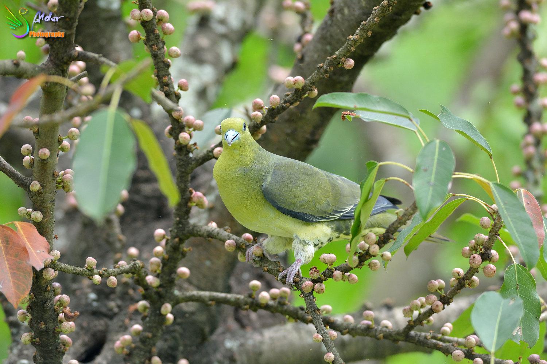 Japanese_Green_Pigeon_8674