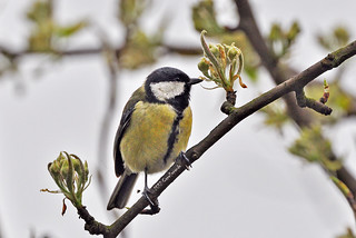 The Great Tit and the new buds of the pear tree in my backyard. 天蠶腳之隔窗拍照樂 -- 大山雀與梨子樹的新芽 | by Capelle Panda -- Be happy!